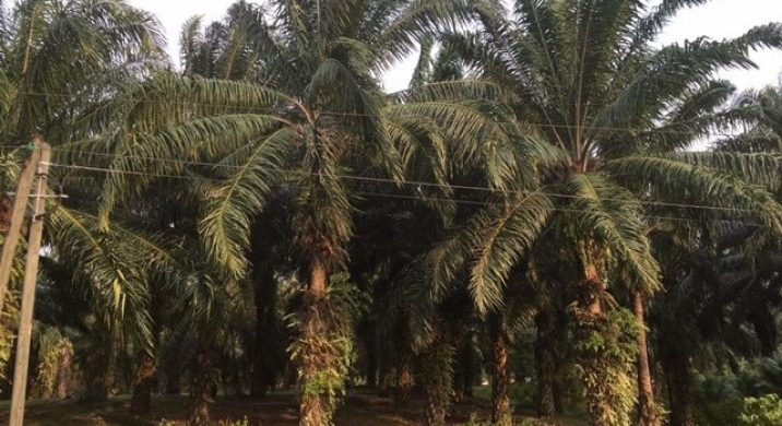 African Palm Planations