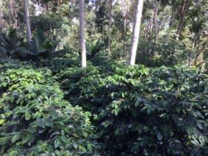 Coffee plantation in Western Honduras