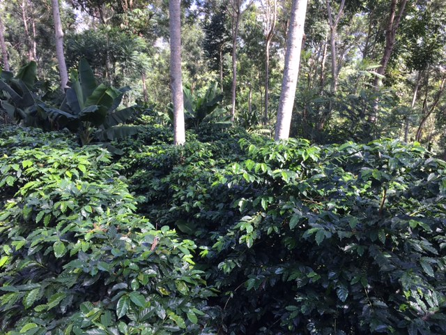 Coffee plantation in Western Honduras