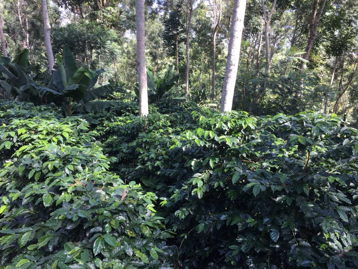 Coffee Harvesting Season in Honduras